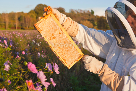 Beekeeper, holding beehive frame of honey up to the sun, in field full of flowersの写真素材 [FYI02113947]