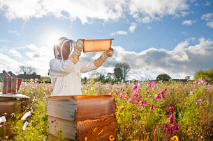 Beekeeper, holding beehive frame of honey up to the sun, in field full of flowersの写真素材 [FYI02114115]
