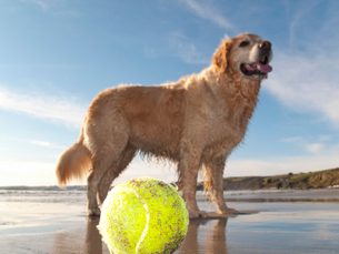 Dog enjoying beach and tennis ball at Gerrans Bay, Cornwall, United Kingdomの写真素材 [FYI02114414]