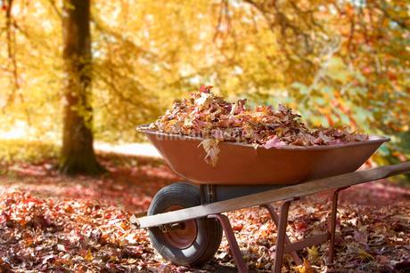 Wheelbarrow of leaves in autumnの写真素材 [FYI02114691]