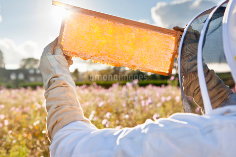 Beekeeper, holding beehive frame of honey up to the sun, in field full of flowersの写真素材 [FYI02114866]