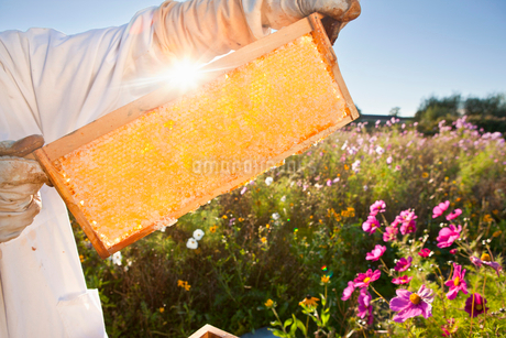 Beekeeper, holding beehive frame of honey up to the sun, in field full of flowersの写真素材 [FYI02115111]