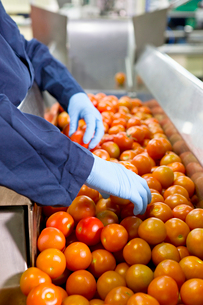 Quality control worker sorting ripe red tomatoes on production line in food processing plantの写真素材 [FYI02115412]
