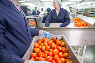 Worker carrying bin of ripe red tomatoes near production line in food processing plantの写真素材 [FYI02115474]