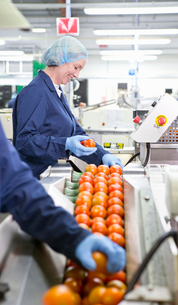 Quality control workers inspecting tomatoes on production line in food processing plantの写真素材 [FYI02115512]
