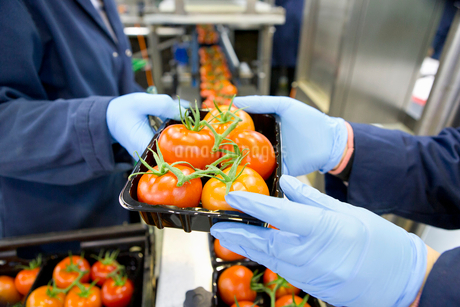 Workers packing ripe red vine tomatoes on production line in food processing plantの写真素材 [FYI02115513]