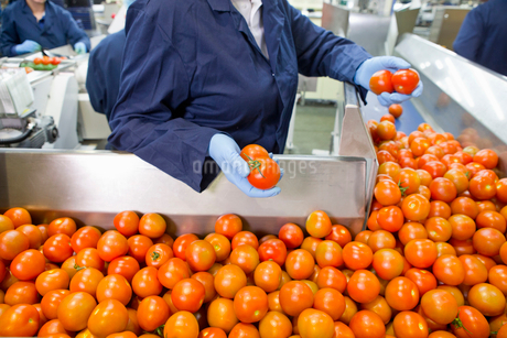 Quality control worker sorting ripe red tomatoes on production line in food processing plantの写真素材 [FYI02115589]