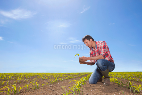 Farmer examining corn seedling in fieldの写真素材 [FYI02115630]