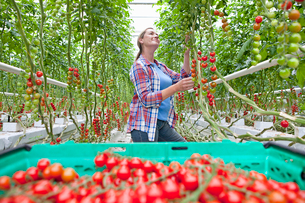 Grower inspecting and harvesting ripe red vine tomatoes in greenhouseの写真素材 [FYI02115776]