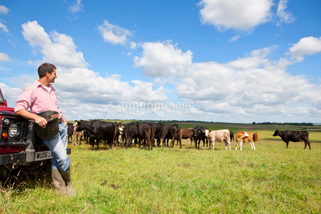 Farmer leaning on truck and watching cattle herd in rural fieldの写真素材 [FYI02115930]