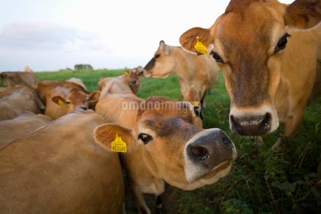 Close up of jersey cows in fieldの写真素材 [FYI02115966]