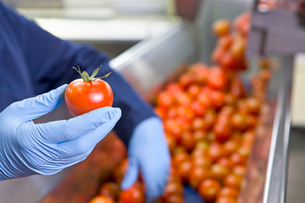 Close up worker holding ripe red tomato at production line in food processing plantの写真素材 [FYI02115967]