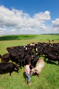 Farmer feeding cattle in rural fieldの写真素材 [FYI02116039]