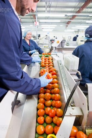 Quality control worker inspecting ripe red tomatoes on production line in food processing plantの写真素材 [FYI02116286]