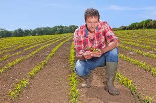 Farmer examining corn seedling in fieldの写真素材 [FYI02116955]
