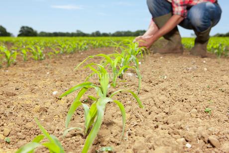Farmer examining corn seedling in fieldの写真素材 [FYI02117142]