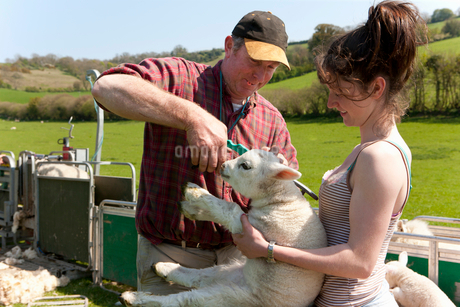 Farmer attaching tag to lamb's earの写真素材 [FYI02117876]