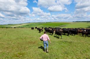 Farmer with bucket approaching cattle herd in sunny rural fieldの写真素材 [FYI02118090]