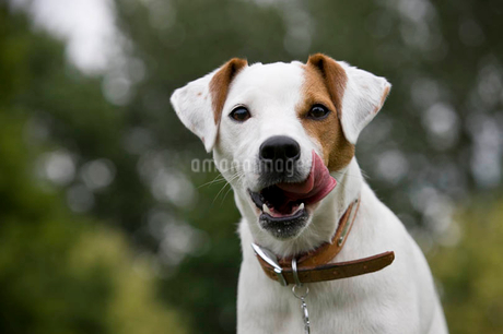 Portrait of a parsons terrier dogの写真素材 [FYI02121579]