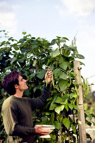 A young man picking runner beans on an allotmentの写真素材 [FYI02121775]
