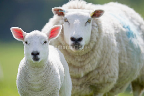 Portrait of sheep and lamb, focus on foregroundの写真素材 [FYI02122942]