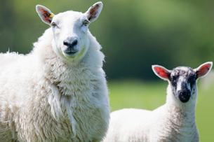 Close up portrait of sheep and lambの写真素材 [FYI02123584]