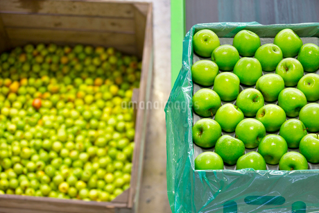 Apples Being Packed Into Boxes In Fruit Processing Plantの写真素材 [FYI02125375]