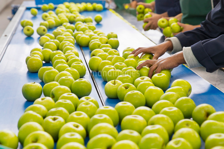 Apples Being Sorted In Fruit Processing And Packaging Plantの写真素材 [FYI02125787]