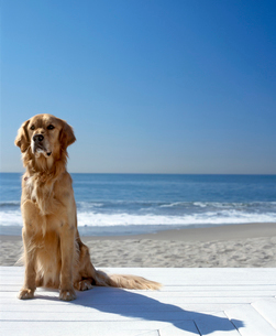 Portrait of a golden retriever sitting on the beachの写真素材 [FYI02126159]