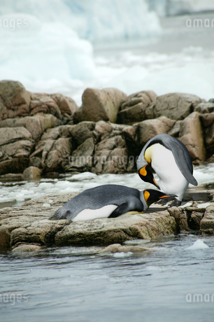 King Penguins (Aptenodyptes patagonicus), Falkland Islandsの写真素材 [FYI02126195]