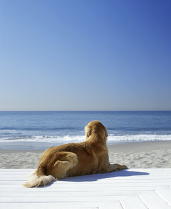 Portrait of a golden retriever resting on the beachの写真素材 [FYI02126494]
