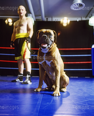 Portrait of a human boxer and a canine boxer in the ringの写真素材 [FYI02127055]