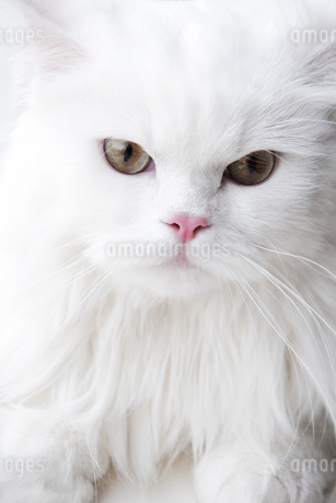 Close up of cat's faceの写真素材 [FYI02127156]