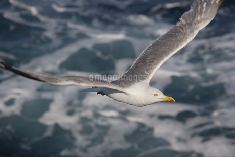 Bird flying in the airの写真素材 [FYI02127322]