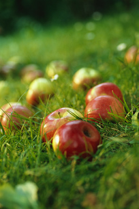 Apples lying on the groundの写真素材 [FYI02129275]