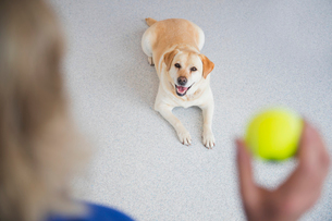 Obedience training labrador dog with ball in vet surgeryの写真素材 [FYI02129671]