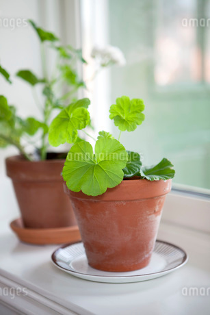 Potted plants on window sillの写真素材 [FYI02129924]