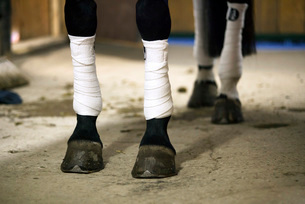 Horse legs wrapped with bandagesの写真素材 [FYI02130016]