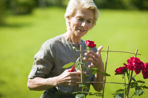 Senior woman tending to rose bushの写真素材 [FYI02130031]