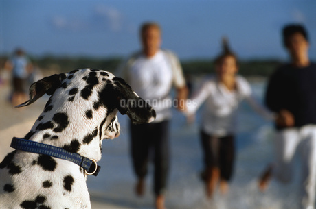 Dalmatian with people on beachの写真素材 [FYI02130276]