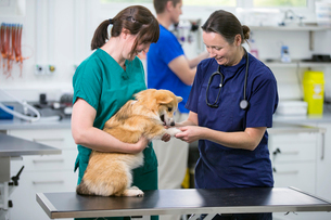 Nurse and vet examining pet dog on table in vet surgeryの写真素材 [FYI02130304]