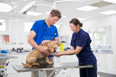 Vet and nurse examining pet dog on table in surgeryの写真素材 [FYI02130305]
