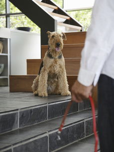 Airedale terrier looking at man with leashの写真素材 [FYI02130443]