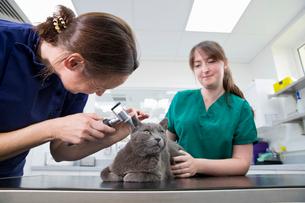 Vet examining pet cat ears and hearing in surgeryの写真素材 [FYI02130760]