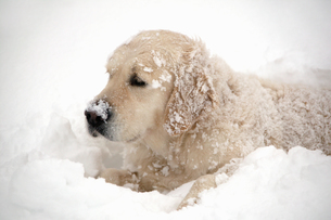 View of a golden retriever lying in the snowの写真素材 [FYI02130781]