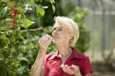 Senior couple picking cherry tomatoesの写真素材 [FYI02130905]