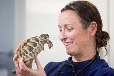 Vet examining pet tortoise in consulting room of surgeryの写真素材 [FYI02130913]