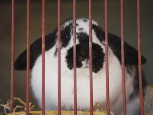 Close up of rabbit in cageの写真素材 [FYI02131044]