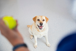 Obedience training labrador dog with ball in vet surgeryの写真素材 [FYI02131459]