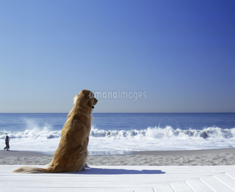 Portrait of a golden retriever sitting on the beachの写真素材 [FYI02131509]
